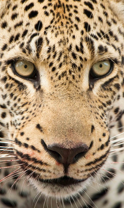 Leopard (Panthera pardus), ZA ©Johannes Ratermann