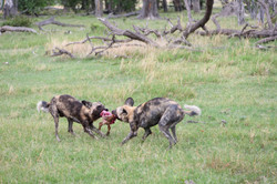 Wild Dogs / Lycaon pictus had hunted an Impala ©Johannes Ratermann