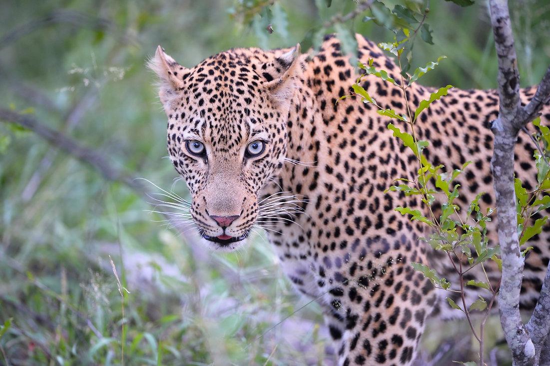 Leopard Mondzo, ZA ©Johannes Ratermann