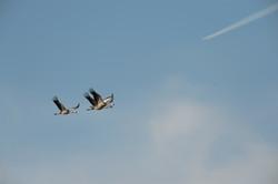 Der Kranich fliegt - hoffentlich bald wieder ©Johannes Ratermann