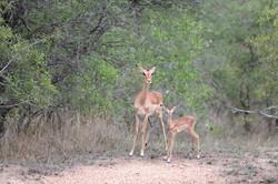 Impala-Mutter mit Jungtier, BW ©Johannes Ratermann