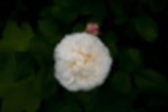Weisse Rose mit junger Blüte ©Johannes Ratermann