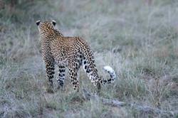 Leopard mit Steinbock im Angesicht des Todes ©Johannes Ratermann