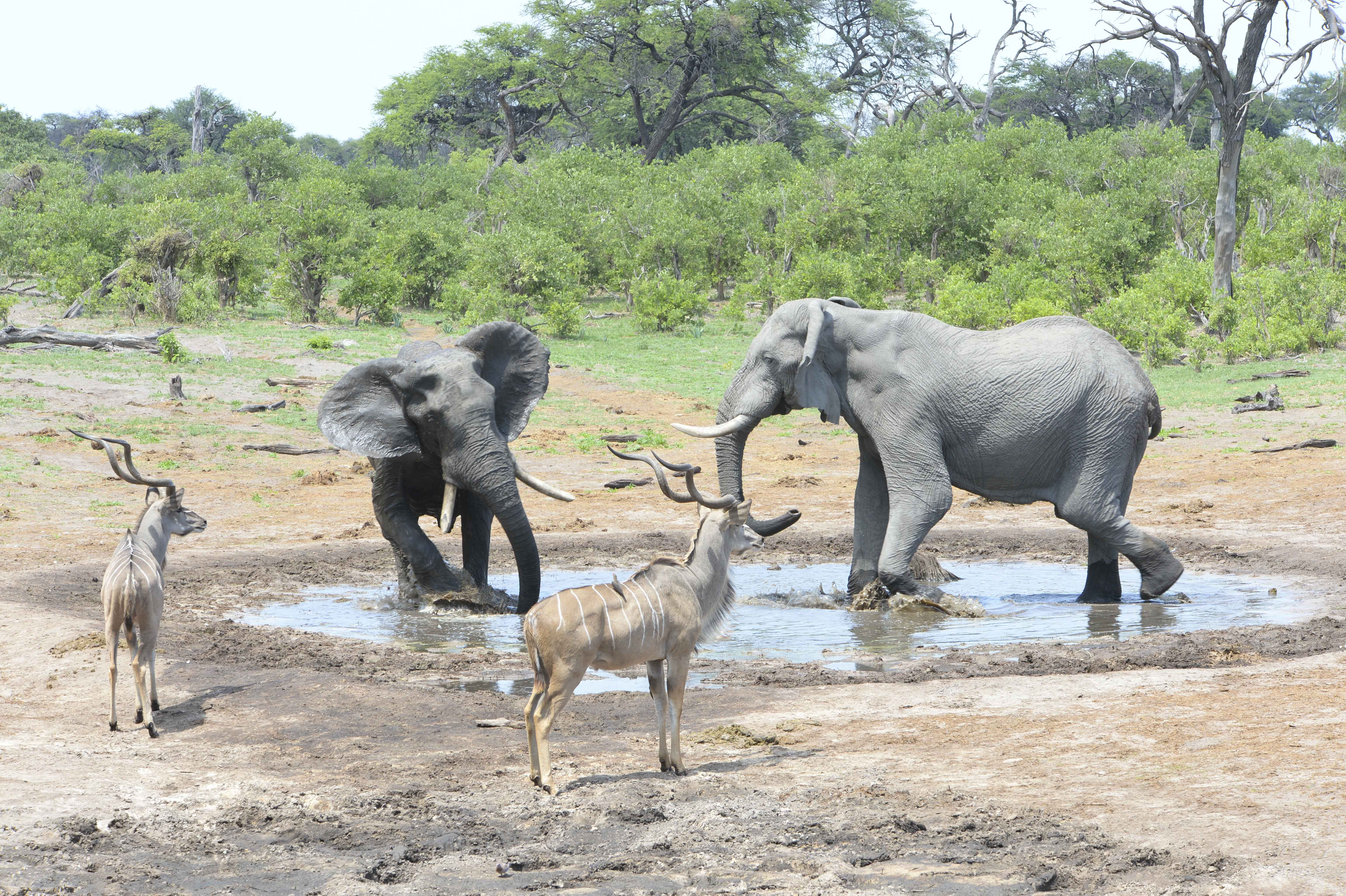 Elephants struggeling, Kudus nearby, BA ©Johannes Ratermann