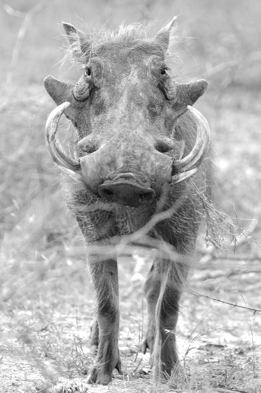 Warzenschwein, ZA ©Johannes Raterman