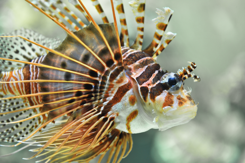 Antennenfeuerfisch ©Johannes Ratermann