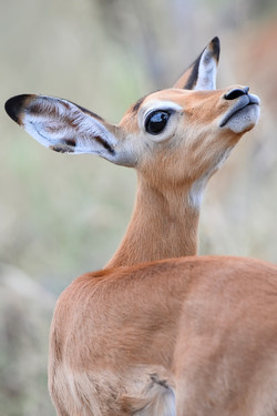 Impala, Sabi Sand ©Johannes Ratermann