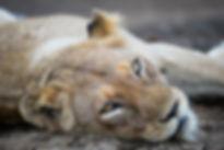 Portrait einer jungen Löwin, ZA ©Johannes Ratermann