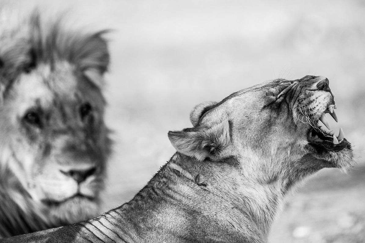 Löwenpaar, Namibia ©Johannes Ratermann