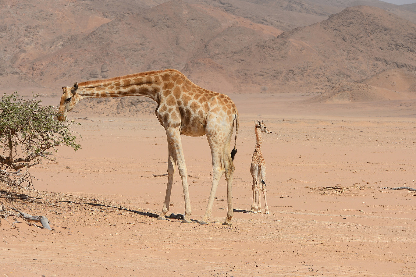 Giraffe with Baby in Hoanib ©Johannes Ratermann