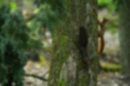 Braunes und schwarzes Eichhörnchen ©Johannes Ratermann