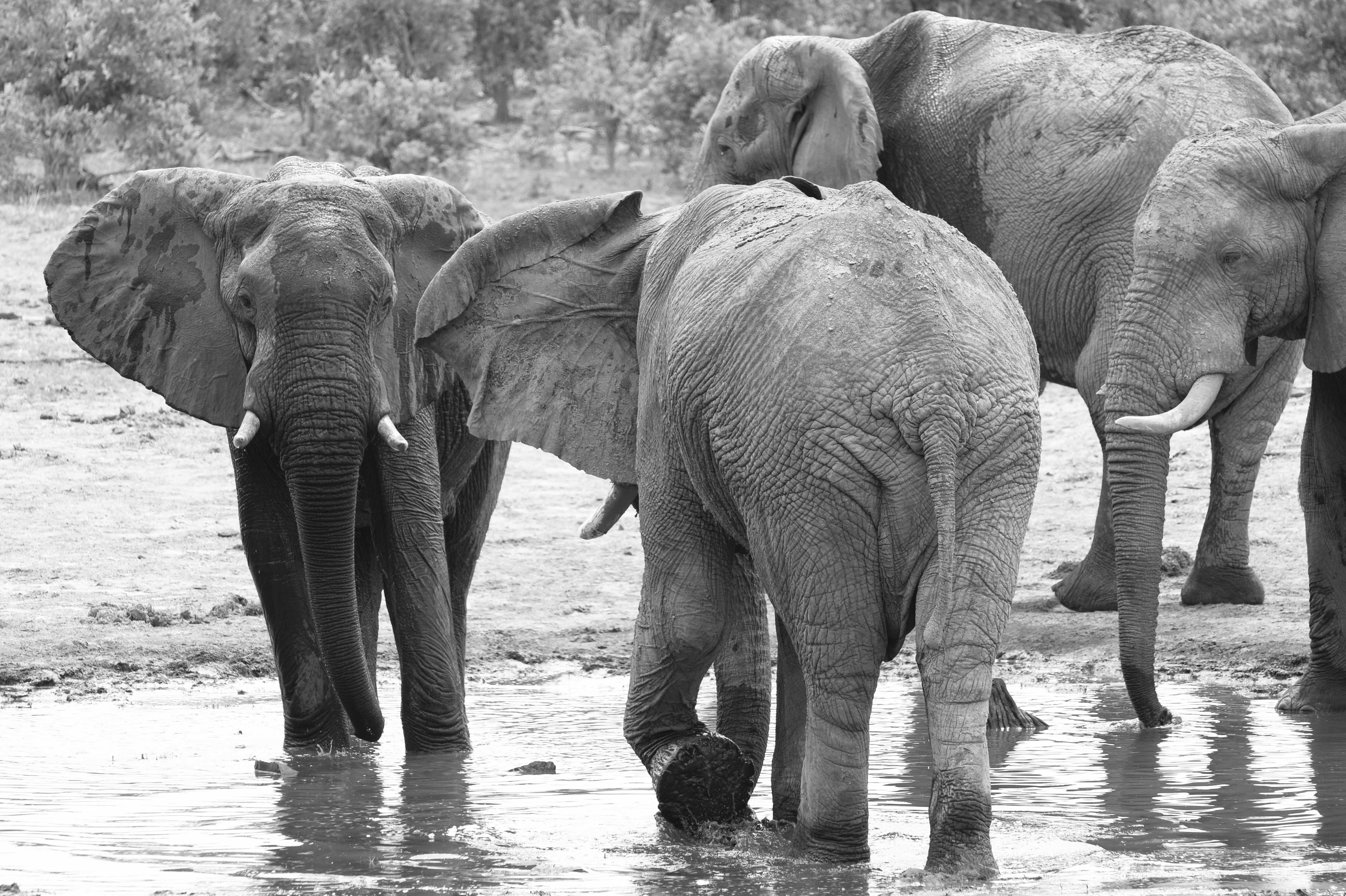 Elephants, BW ©Johannes Ratermann