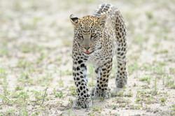 Leopardenbaby (6 Monate) von Leopardin Maschaba  ©Johannes Ratermann