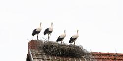 Young Storks I, DE ©Johannes Ratermann
