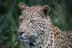 Leopard Mondzo, Sabi Sand, Südafrika ©Johannes Ratermann