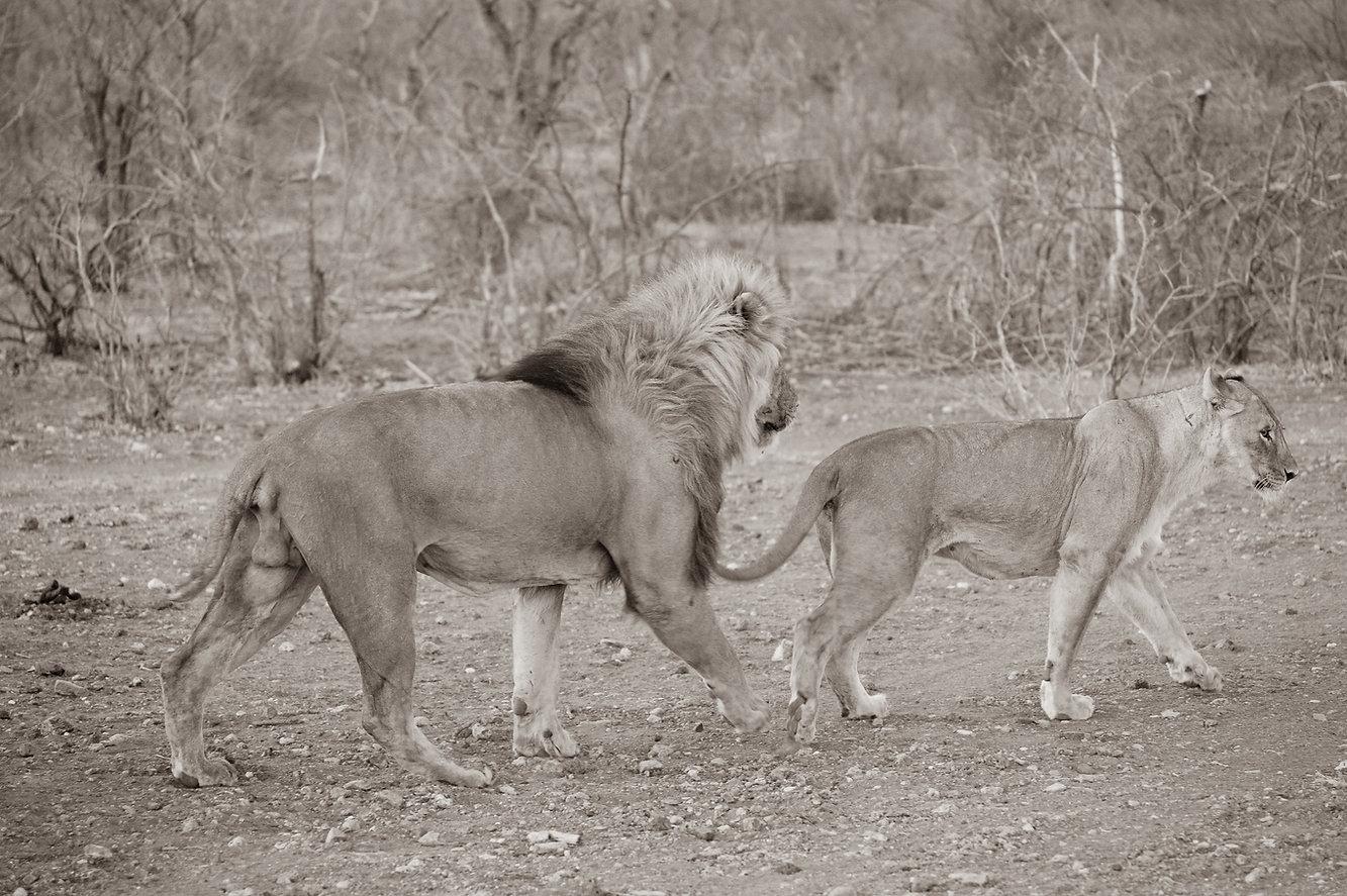 Löwenpaar - Valentinstag, Namibia ©Johannes Ratermann