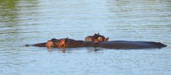 Hippopotamus mit Jungtier - Hippopotamus amphibius, Sabi Sand, Südafrika ©Johannes Ratermann
