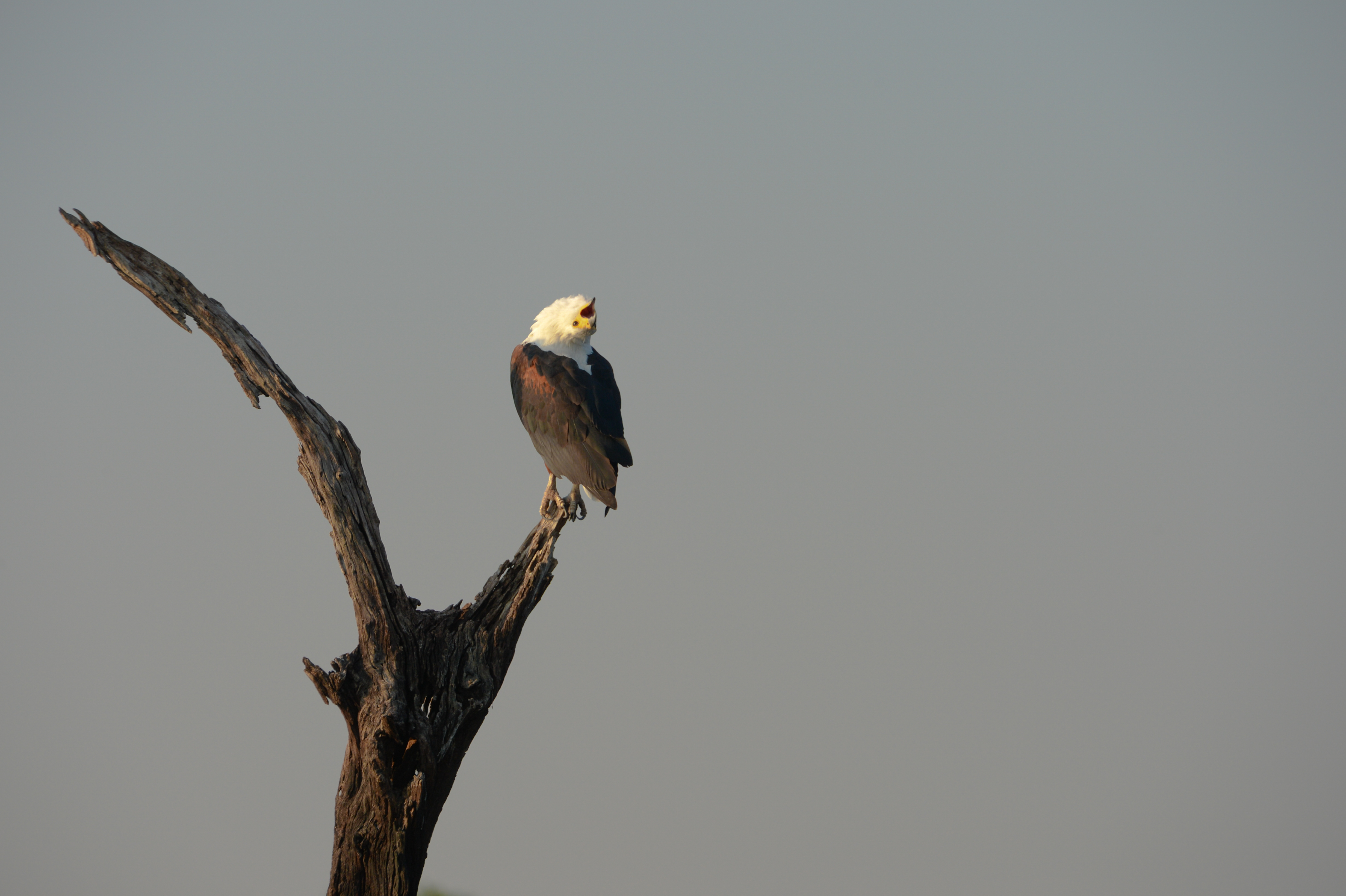 African Fish Eagle by sunrising