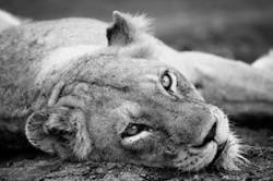 Löwin, Sabi Sand, Südafrika ©Johannes Ratermann
