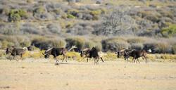 Black Wildebeest, Connochaetes gnou, Zedernberge, ZA ©Johannes Ratermann