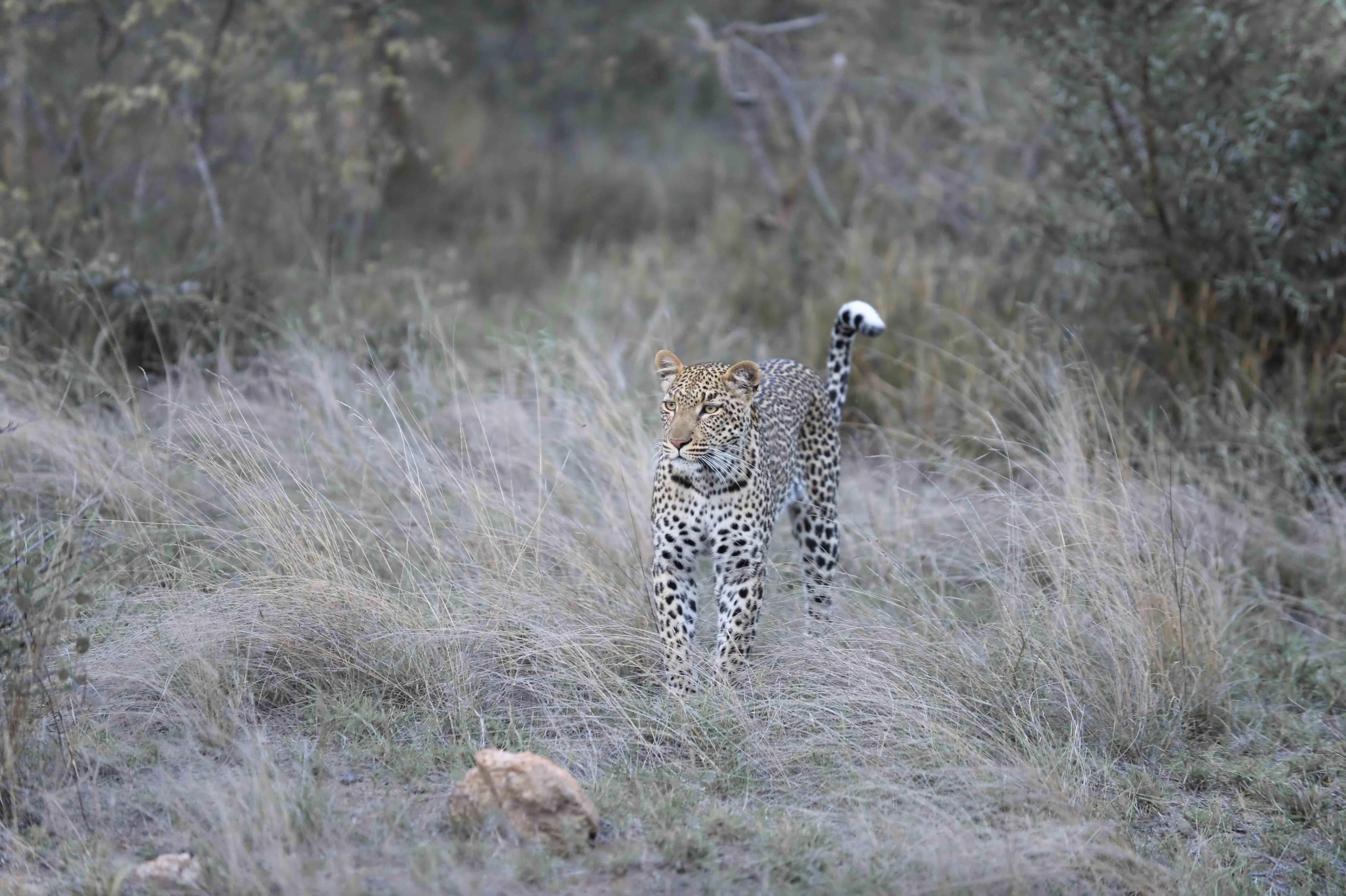 Leopard (Panthera pardus) hunting a Steenbok, ZA ©Johannes Ratermann