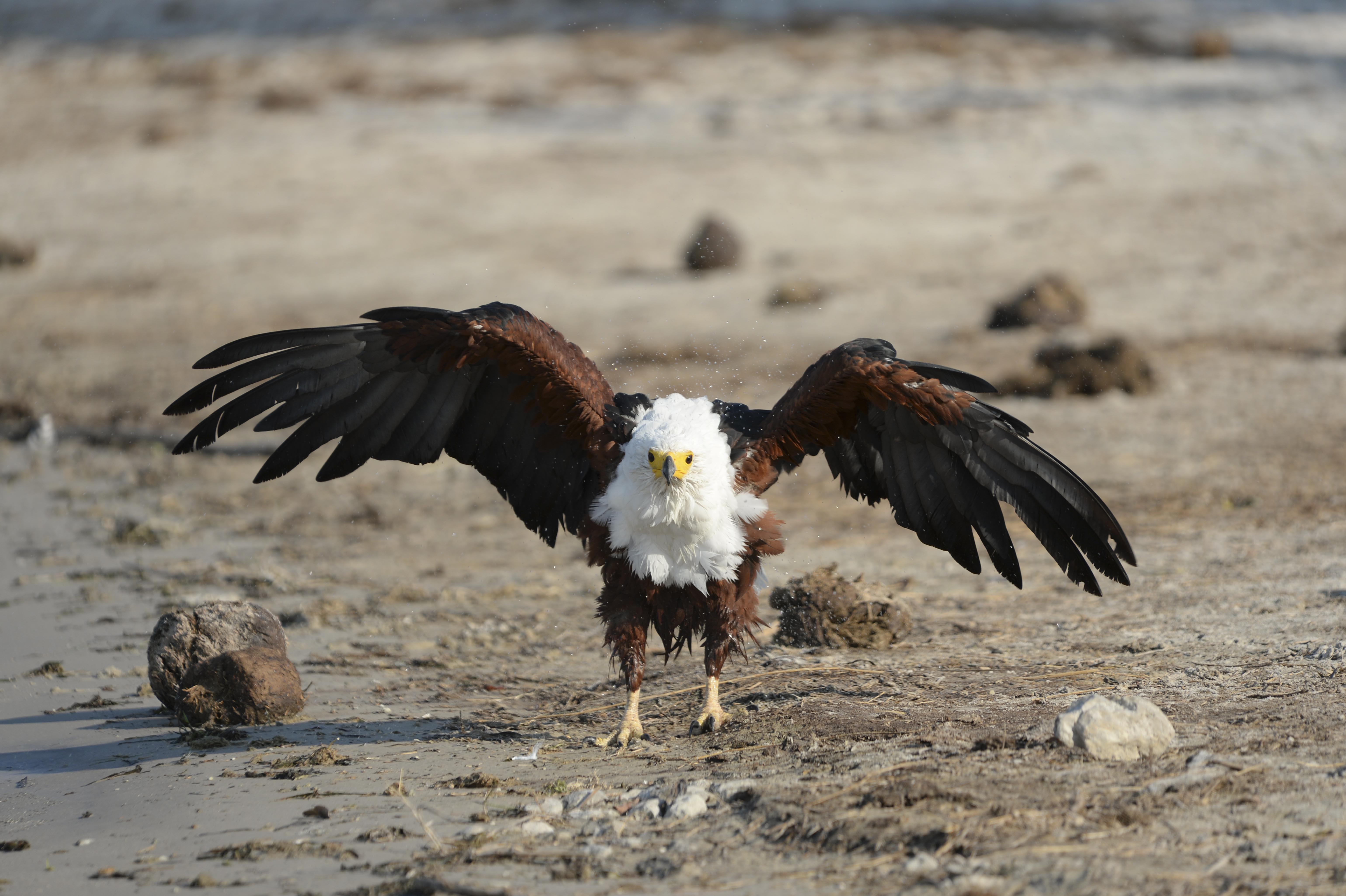 African Fish Eagle ©Joh. Ratermann
