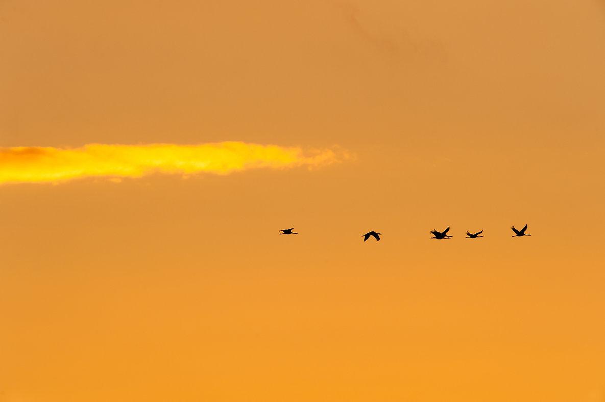 Kraniche im Abendrot fliegend @Johannes Ratermann