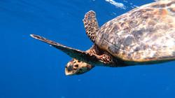 Karett-Turtle ©Johannes Ratermann