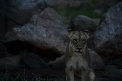 Lion-Mother in the evening, ZA ©Johannes Ratermann