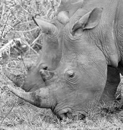 Rhinos, ZA ©Johannes Ratermann