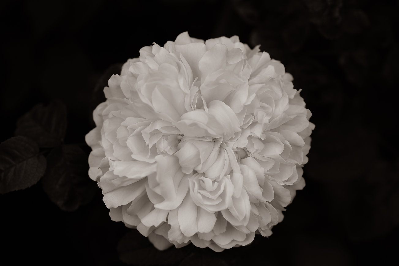 Portland Rose Jacque Cartier ©Johannes Ratermann
