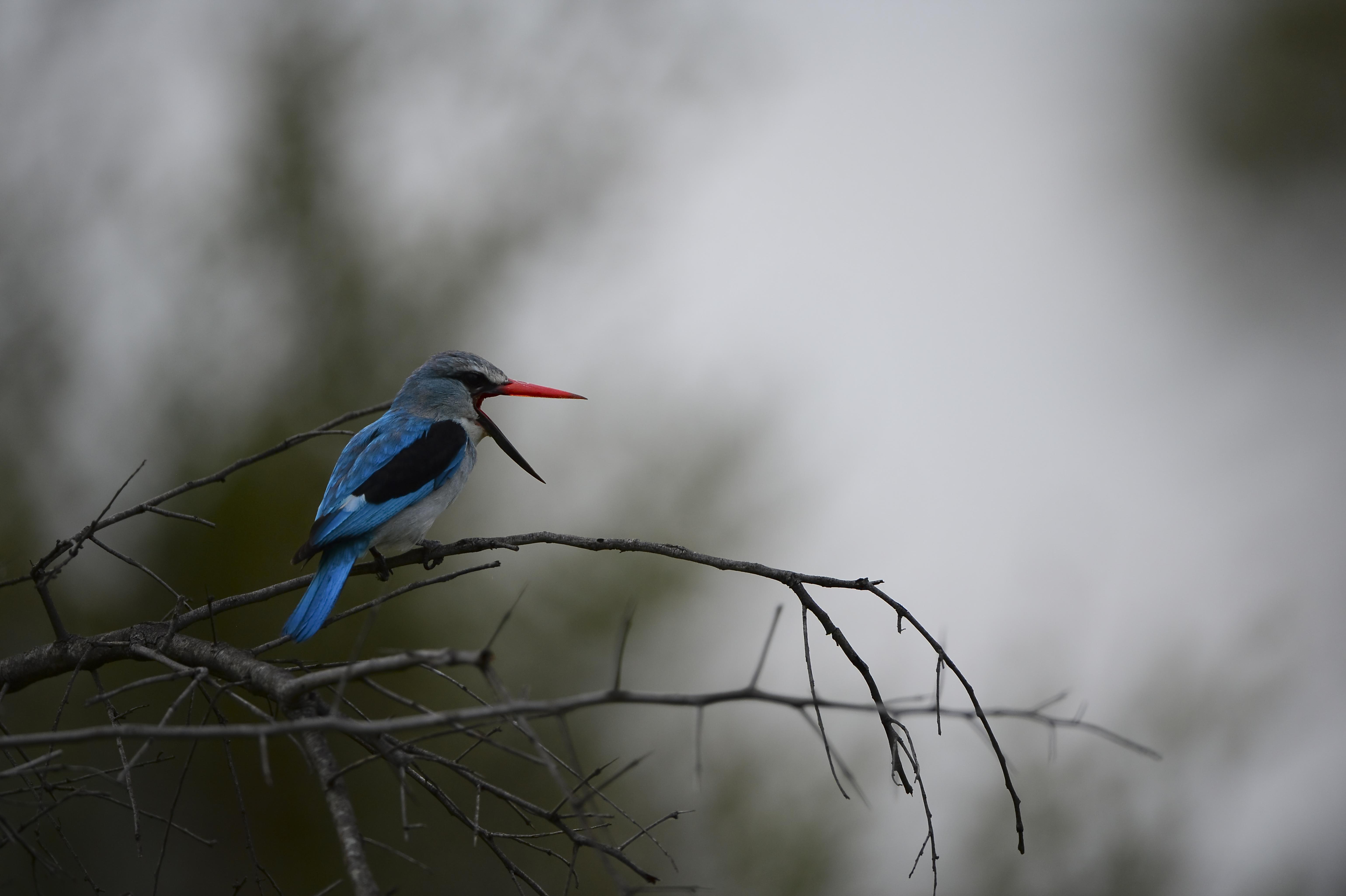 Woodland Kingfisher, Halcyon senegalens ©Johannes Ratermann