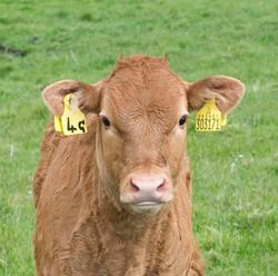 Cow, GB-SCT ©Johannes Ratermann