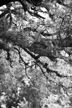 Leopard Basile, Sabi Sand, Südafrika 2018 ©Johannes Ratermann