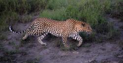Leopard Sabi Sand, ZA ©Johannes Raterman