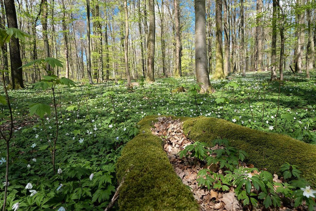 Buschwindröschen-Teppich (Anemone nemorosa) ©Johannes Ratermann