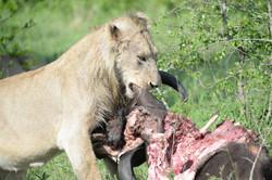 Lion with Gnu, ZA ©Johannes Ratermann
