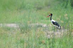 _Ephippiorhynchus_senegalensis,_fliegend