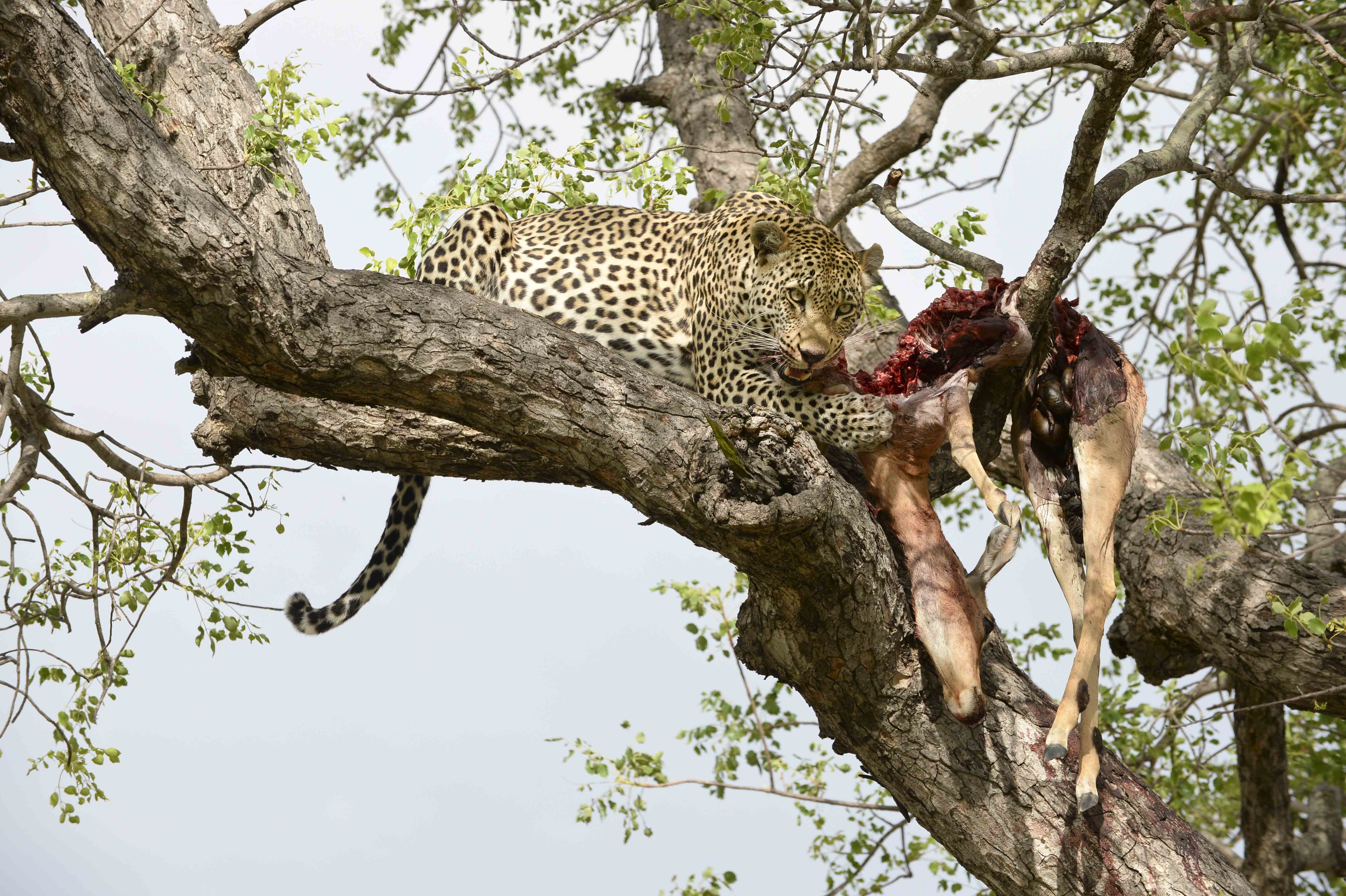 Leopard (Panthera pardus) with an Impala, ZA ©Johannes Ratermann
