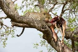 Leopard (Panthera pardus) with an Impala, ZA ©Johannes Ratermann