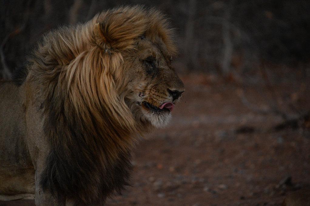 Lion Etosha National Park ISO 5000 f2.8 1/800 ©Johannes Ratermann