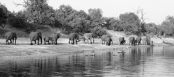 Elephants along the Chobe River, Botswana  ©Johannes Ratermann