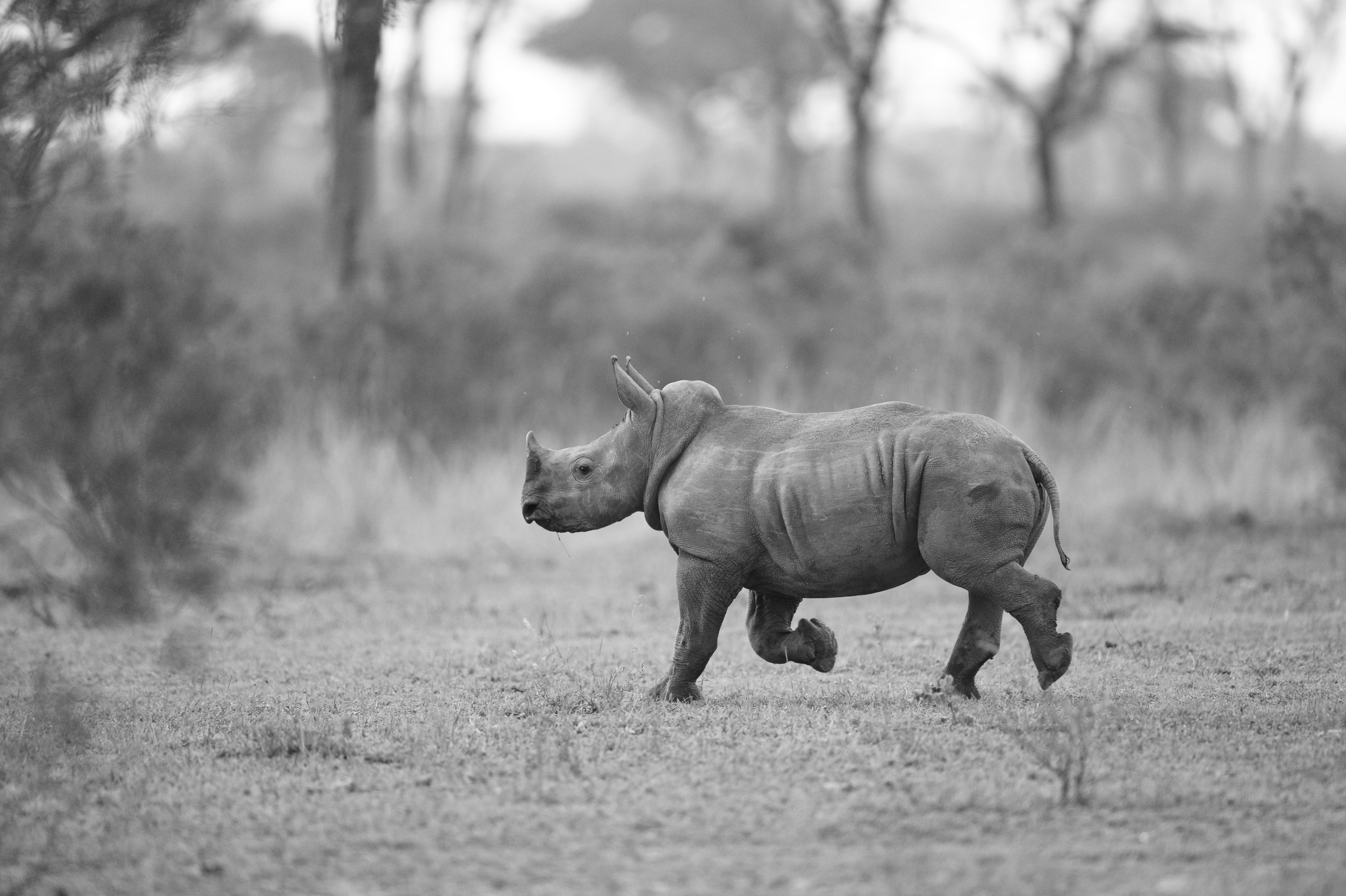 Rhinocerus with Baby, Londolozi ©Johannes Ratermann