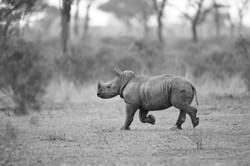 Rhinocerus with Baby, Londolozi ©Johannes Ratermann