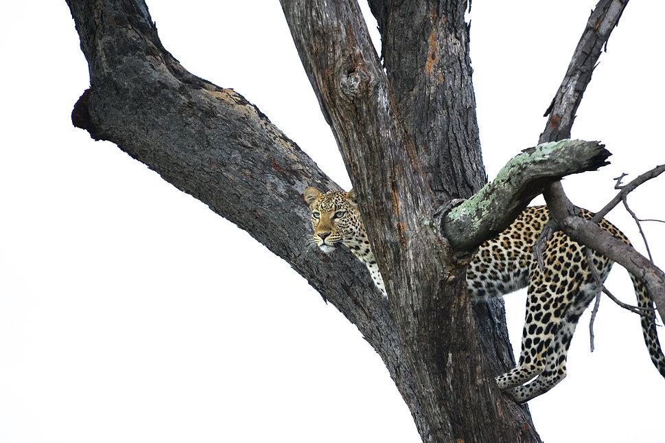 Leopardin auf dem Hochsitz, Botswana 2019 ©Johannes Ratermann