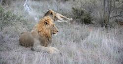 Lions (Panthera leo), ZA ©Johannes Ratermann
