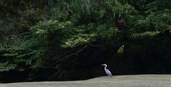 Heron, grey; DE ©Johannes Ratermann