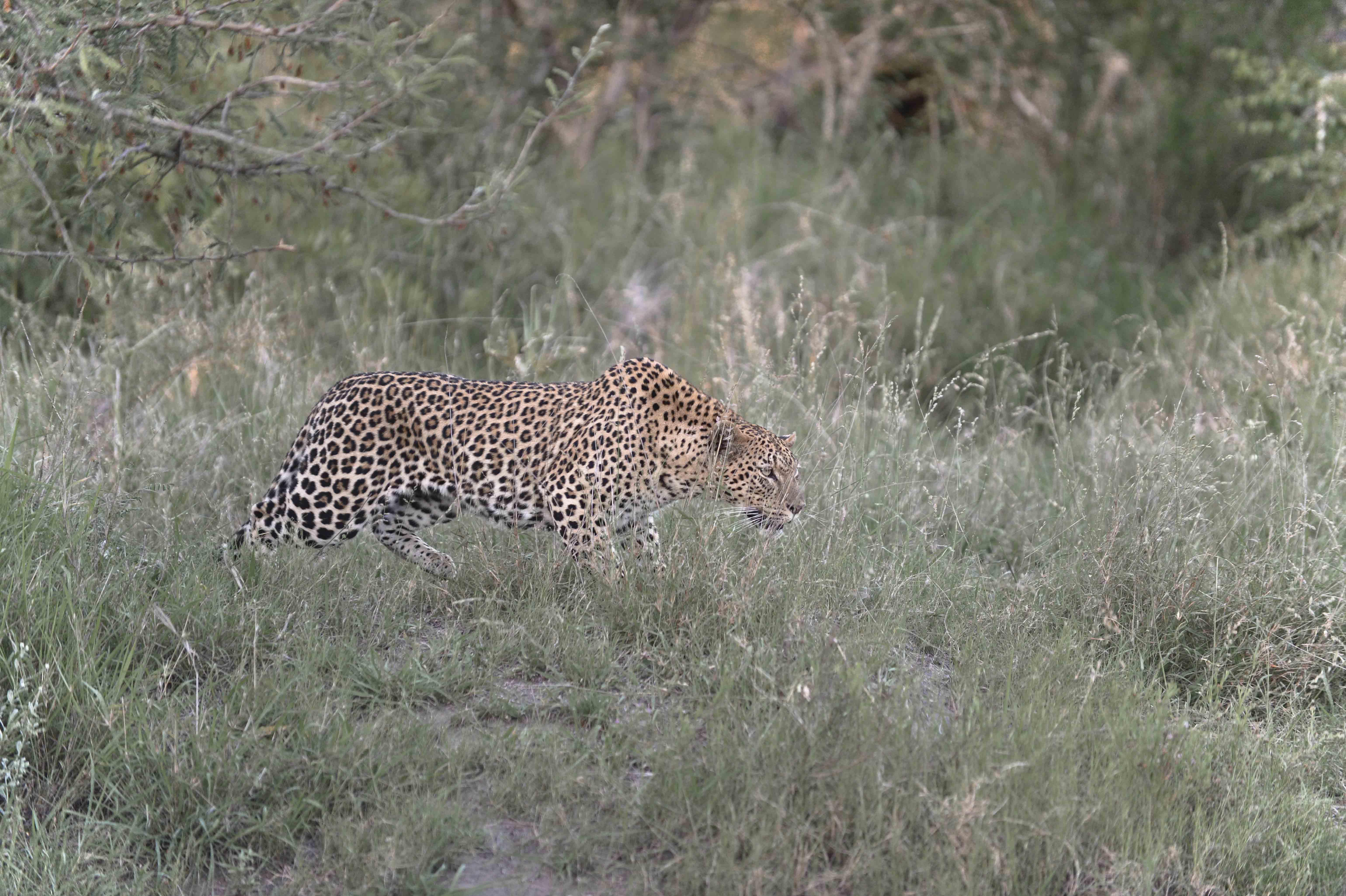 Leopard (Panthera pardus), hunting; ZA ©Johannes Ratermann