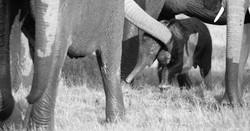 Elephant-Baby, ZA ©Johannes Ratermann