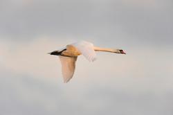 White swan (Cygnus olor) in sunset ©Johannes Ratermann